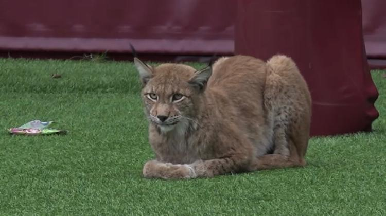Photo of the lynx on the lower field